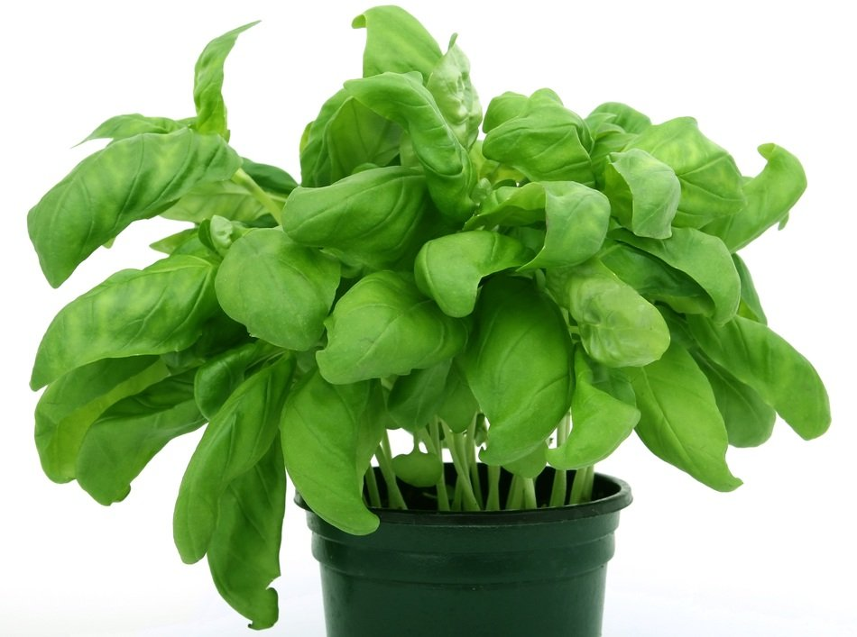 Green potted oregano plant