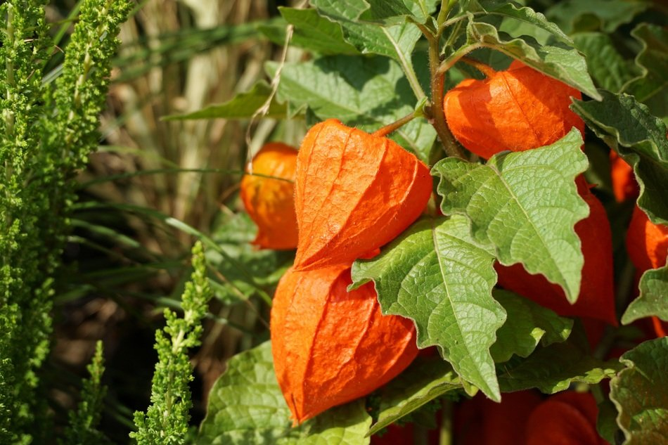 orange physalis fruits on a branch in autumn
