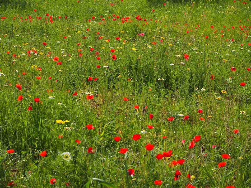 blooming red poppy among green grass