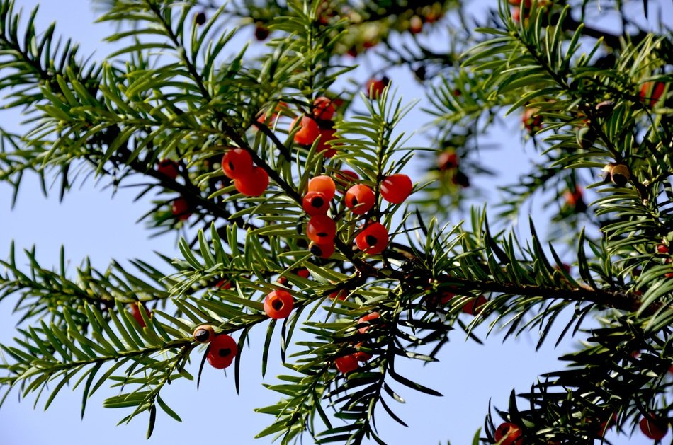 Yew Red Fruits