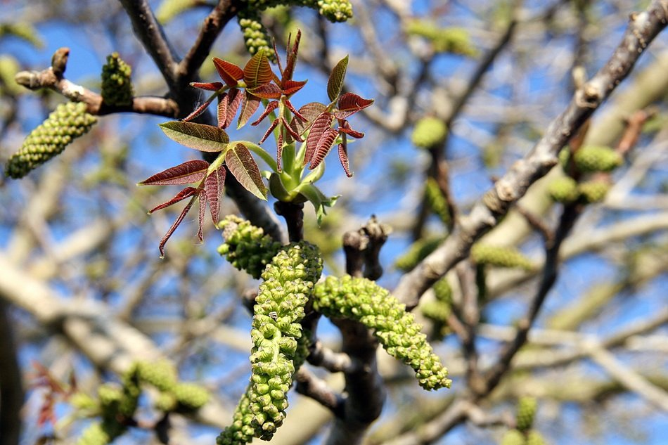 green buds of spring tree