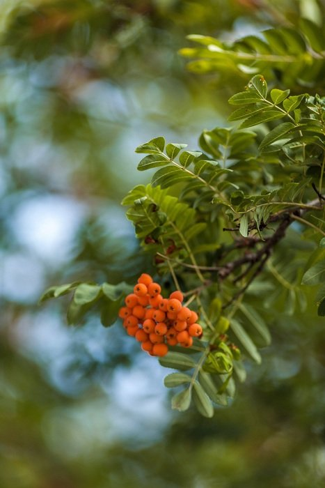 orange rowan berries on a branch
