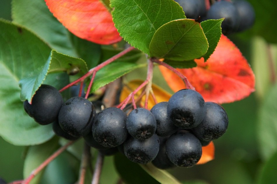 black rowan berries on a branch