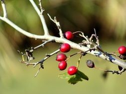 Rosehip berries in the forest