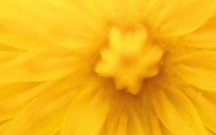 closeup of yellow dandelion