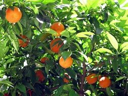 Green tree with oranges