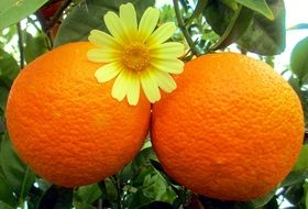 two large ripe oranges on a tree close-up
