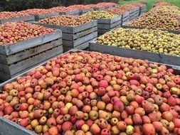Red Apples Harvest in big wooden boxes