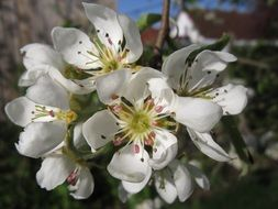 Pear Blossoms on branch close up