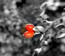 two red berries of rose hips in monochrome image