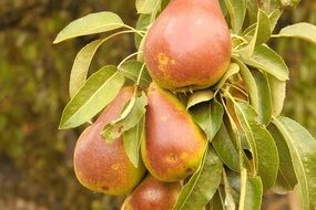 brown pears on a branch in the garden