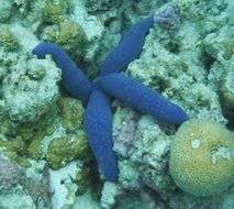 blue starfish in the tropical sea
