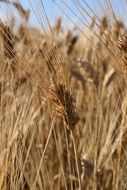 field with dry wheat with ears