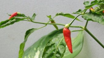 Plant Spicy Organic Chili