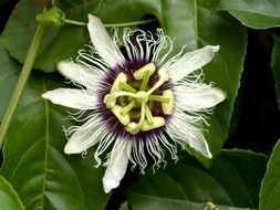 Passion Flower Fruit Tropical plant
