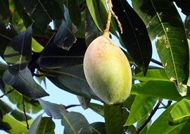 ripening mango fruit on the tree