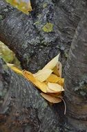 yellow Leaves on trunk of Cherry Tree at fall