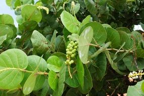 green fruits in the caribbean forests