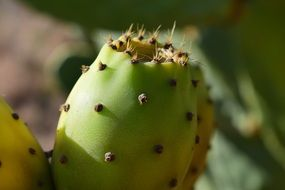 tropical Prickly Pear