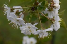 White flowers of a cherry tree close-up