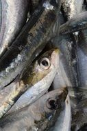 Sardine is a traditional European fish
