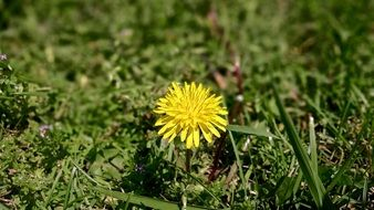 Yellow Dandelion grass