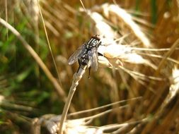 black fly on wheat