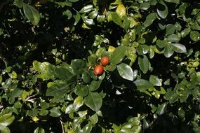 small fruits on a green tree