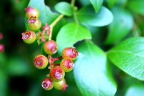unripe Blueberries on plant