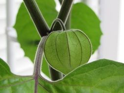 green physalis fruit