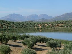 panoramic view of olive trees near the lake