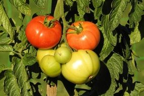 red and green tomatoes on a plant