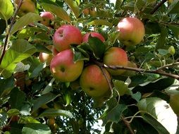 red Apples ripening on Tree