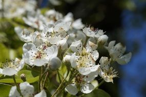 apple tree in white flowers close up
