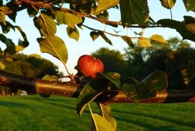 Apple tree branch with Apple