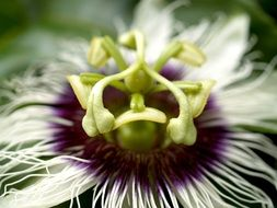 tropical passion flower close up