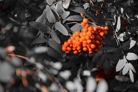rowan berries on a tree branch