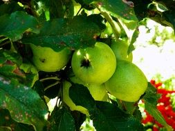 green apples ripen on the tree