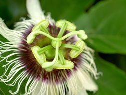 passion flower close-up