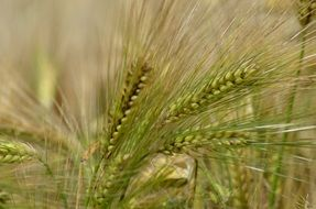 ripening barley in France