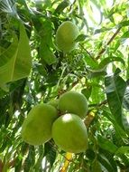 green mangoes grow on a tall tree