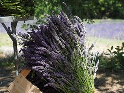 bouquet of lavender bunches