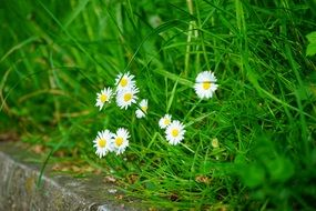 daisies among green grass