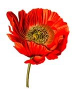 red poppy is a medicinal plant
