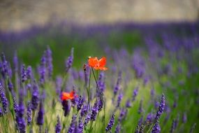 red poppies on a lavender field close up