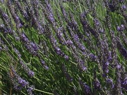 wild field of lavender