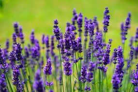 lavender is a wild plant