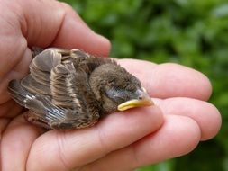 cute Sparrow Chick