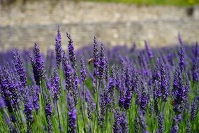 lavender is a wild fragrant plant