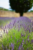 lavender is a wild aromatic plant